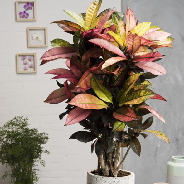 croton iceton plants houseplants