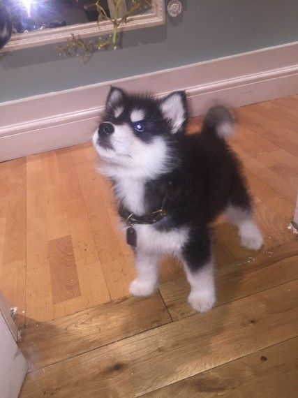 Gorgeous Pure Breed Siberian Husky Puppies For Sale 675 Husky
