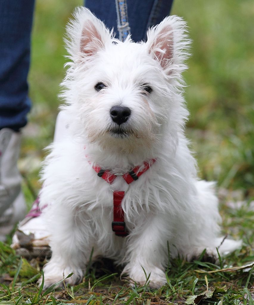 All sizes Snoopy (Westie Welpe / puppy) Flickr Photo