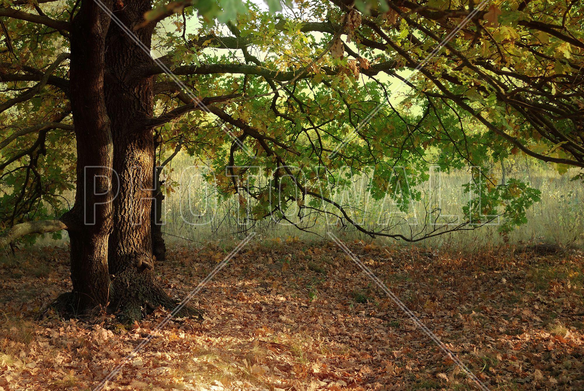 Evening Sun Beams on Autumn Leaves of Oak Tree Wall