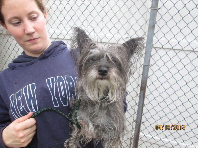 Adopt Mason On Dog Sounds Yorkie Dogs Yorkie