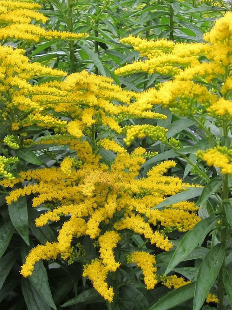 Solidago Canadensis Canadian Goldenrod World Of Flowering Plants Canadensis Planting Flowers Goldenrod
