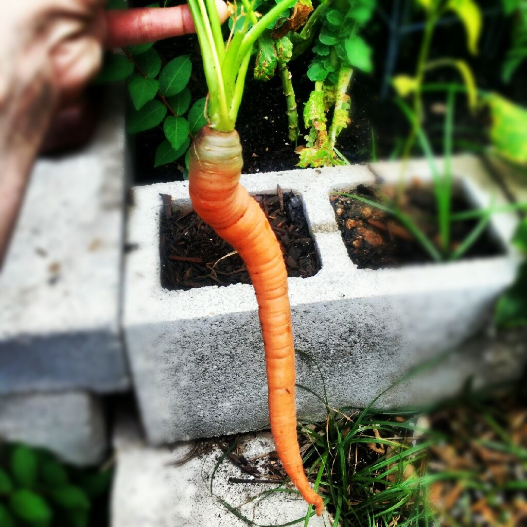 I Will Be Growing All My Carrots In Cinder Blocks From Now On