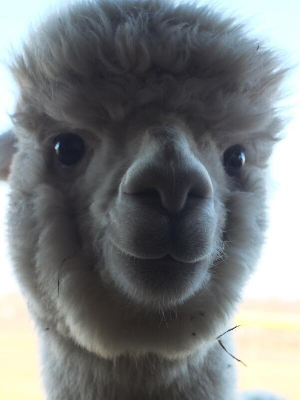 Animal Life @fabulousanimals  ·    Smiling fluffy alpaca