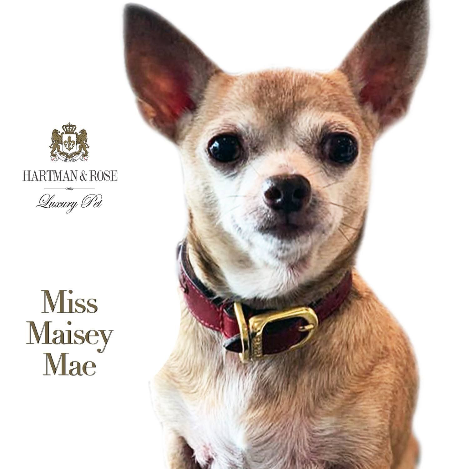 This Is Miss Maisey Mae The Chihuahua Rescue From Jacksonville