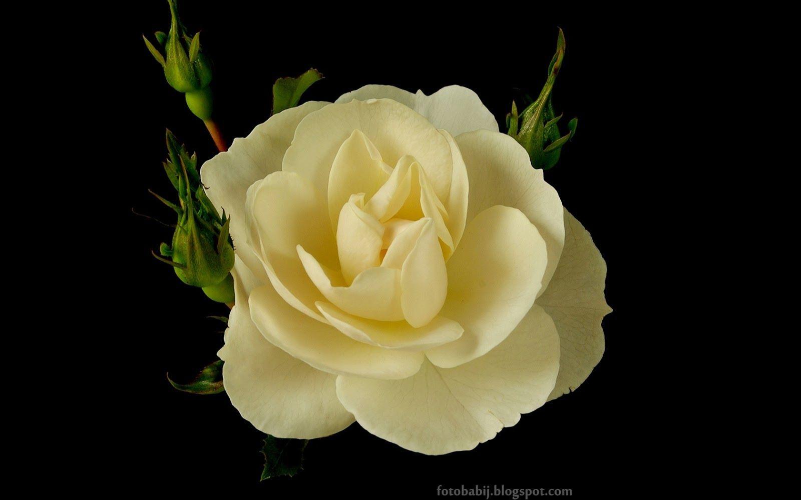 Tapety Na Pulpit 4k Ultra Hd Full Hd I Inne Rozdzielczosci Roza Diamond Border Rose Flowers Rose Flower Garden