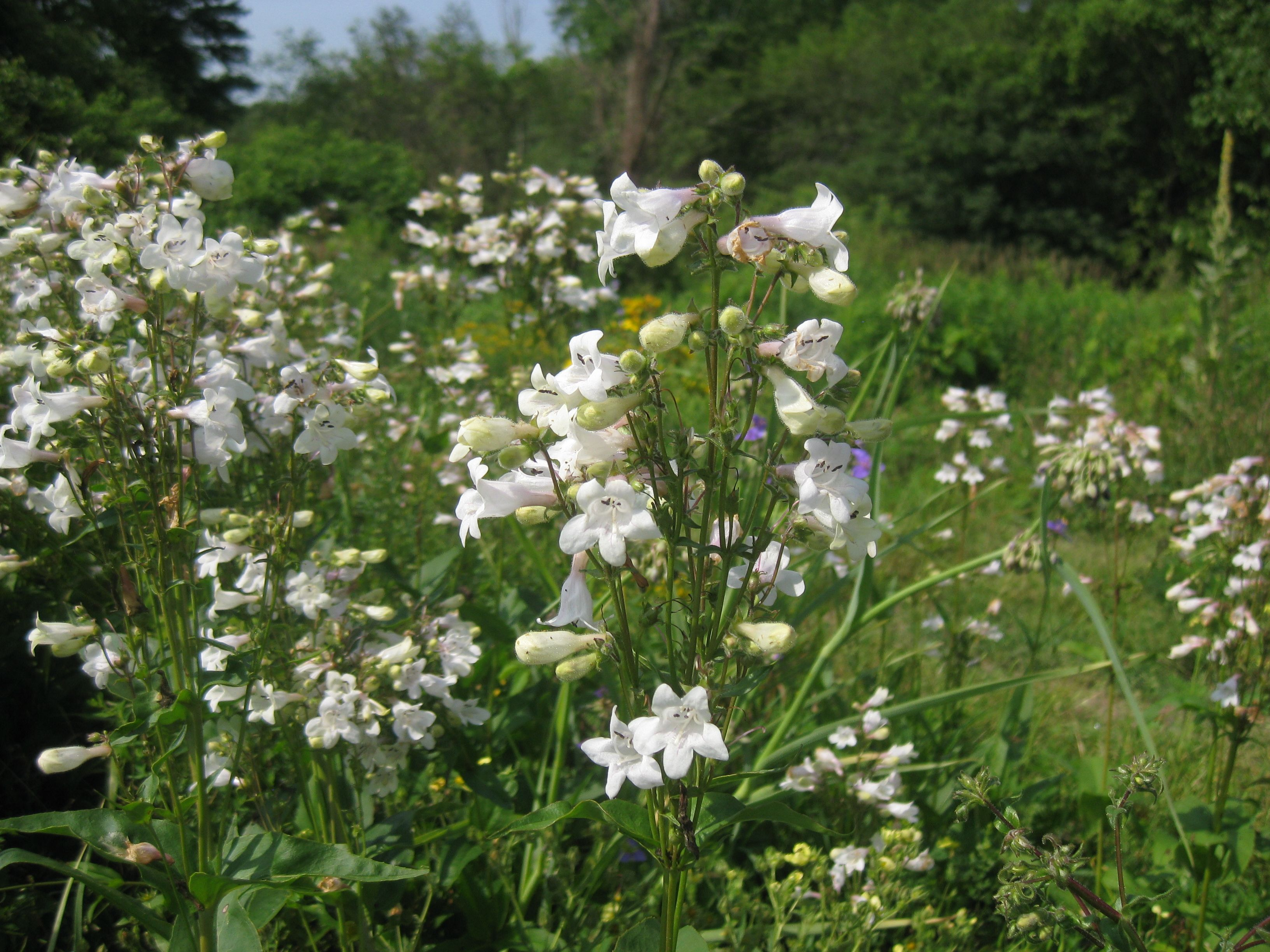 Penstemon digitalis foxglove beardtongue fac perennial were not there yet but it is time to start thinking about planting perennials in the fall this list consists of new varieties of ten old favorites dhlflorist Image collections