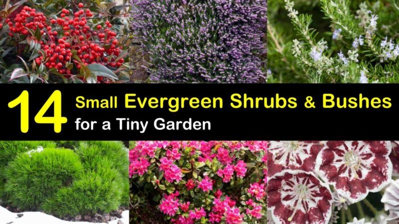 14 Small Evergreen Shrubs Bushes For A Tiny Garden In 2020 Small Evergreen Shrubs Evergreen Shrubs Shrubs