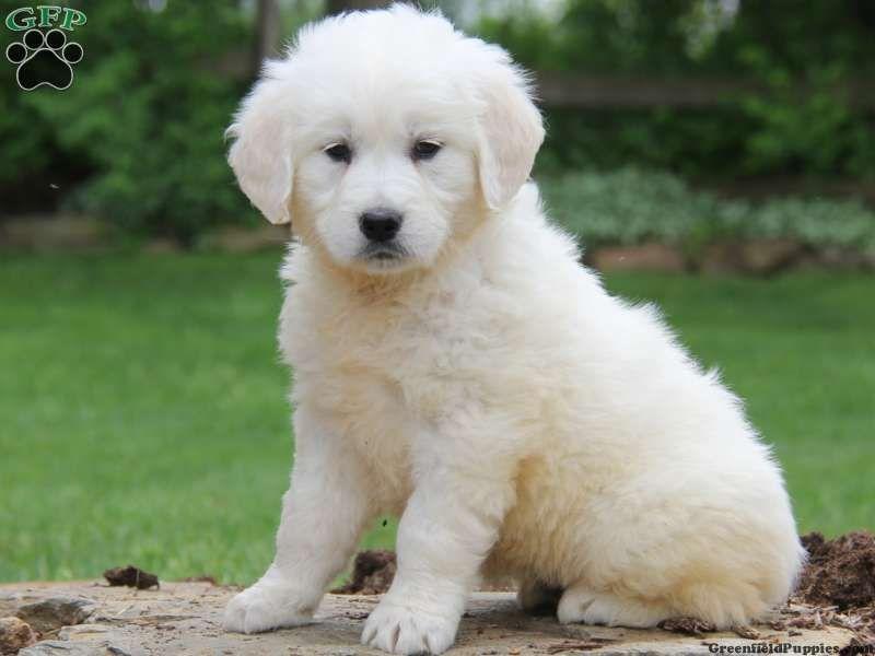 English Cream Golden Retriever Puppies For Sale English Golden