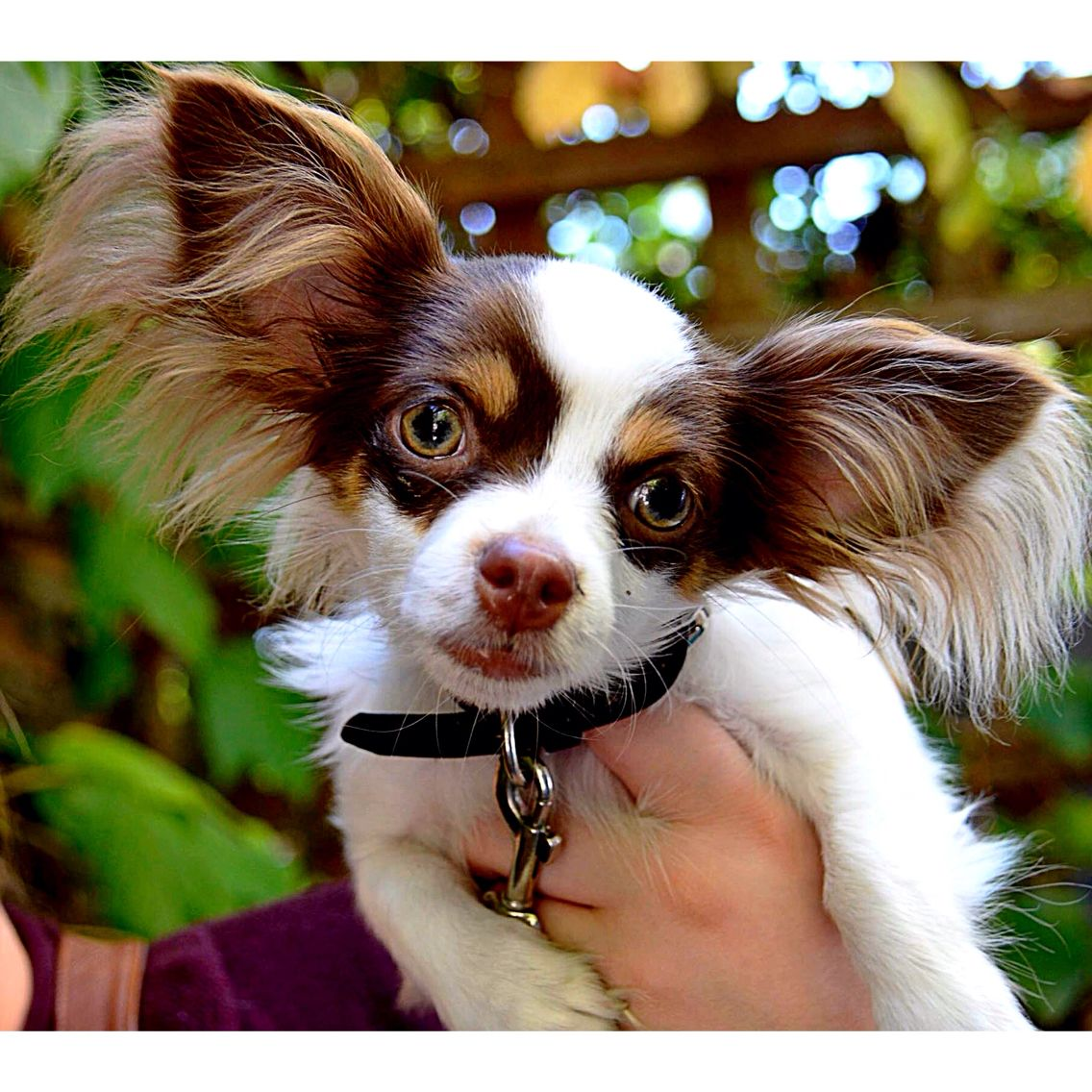long haired chihuahua puppy papillion mix cute tiny dog