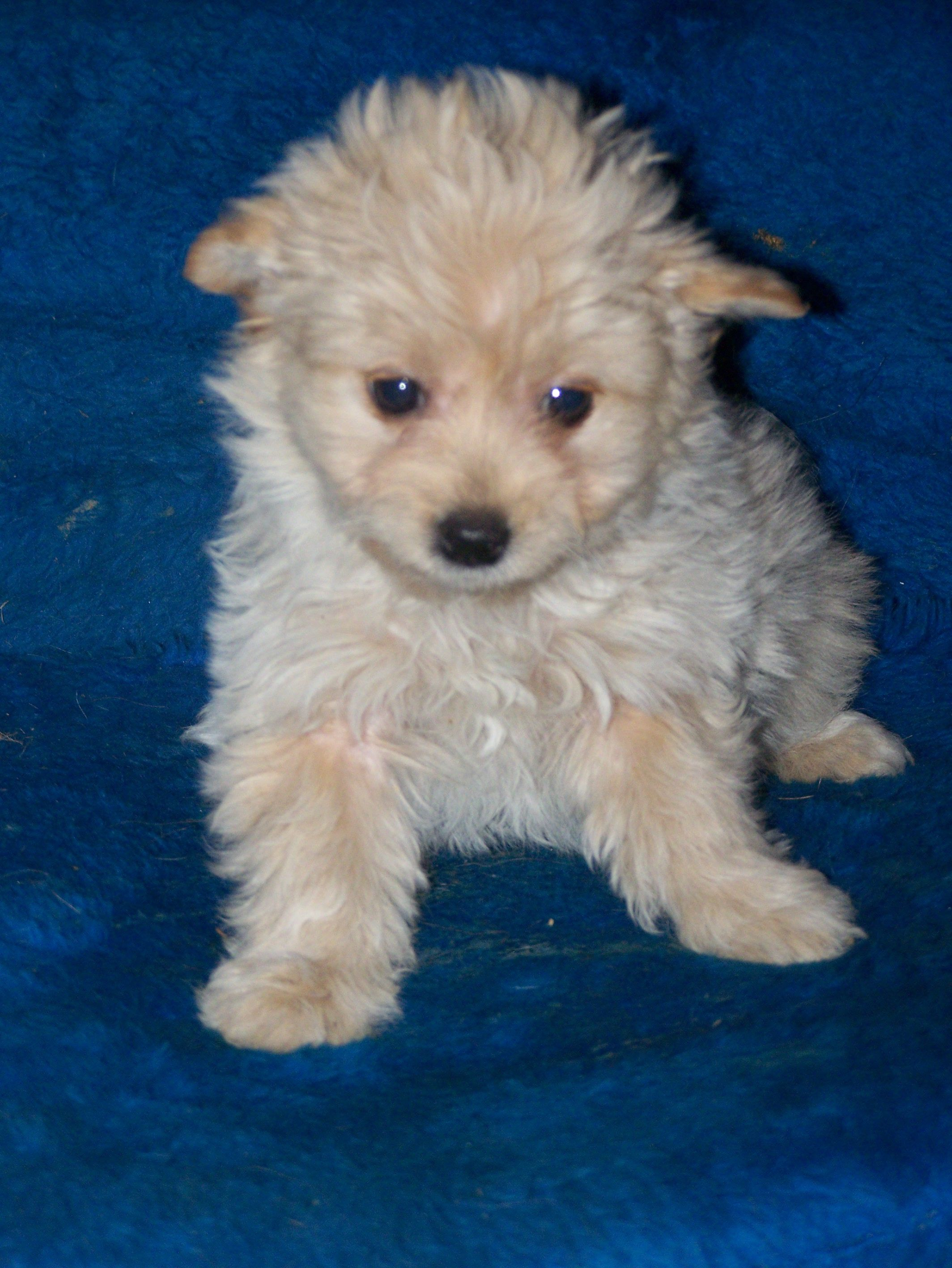Eskipoo Puppy Puppy Pinterest Poodle Mix Poodle And Puppies