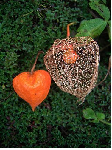 Orange Chinese Lantern Seed Pod Http Flowerpicturegallery Com