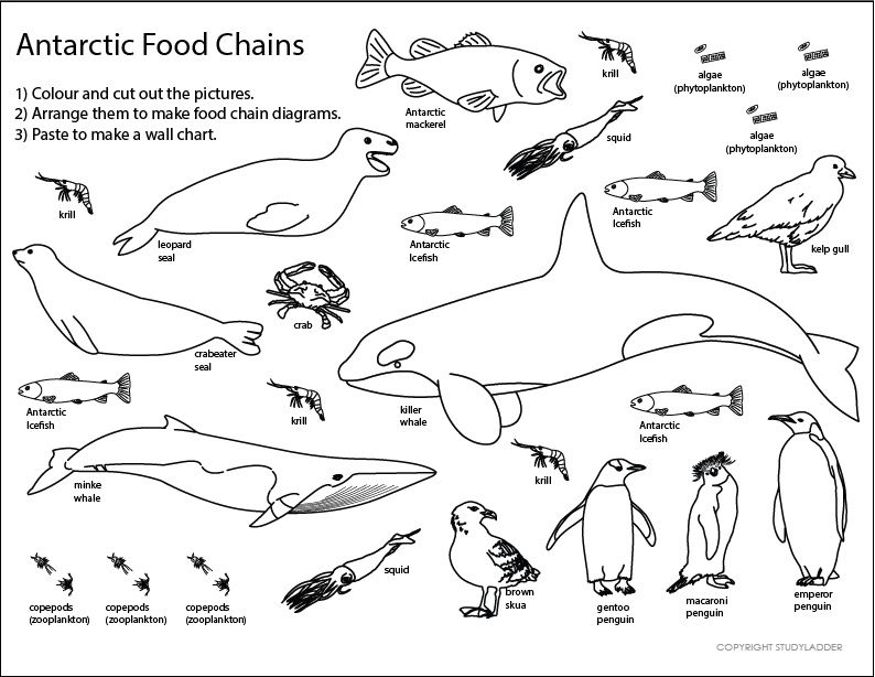 Worksheet Food Webs For Kindergarten Students 196 best food chains images on pinterest life science antarctic chain sheet