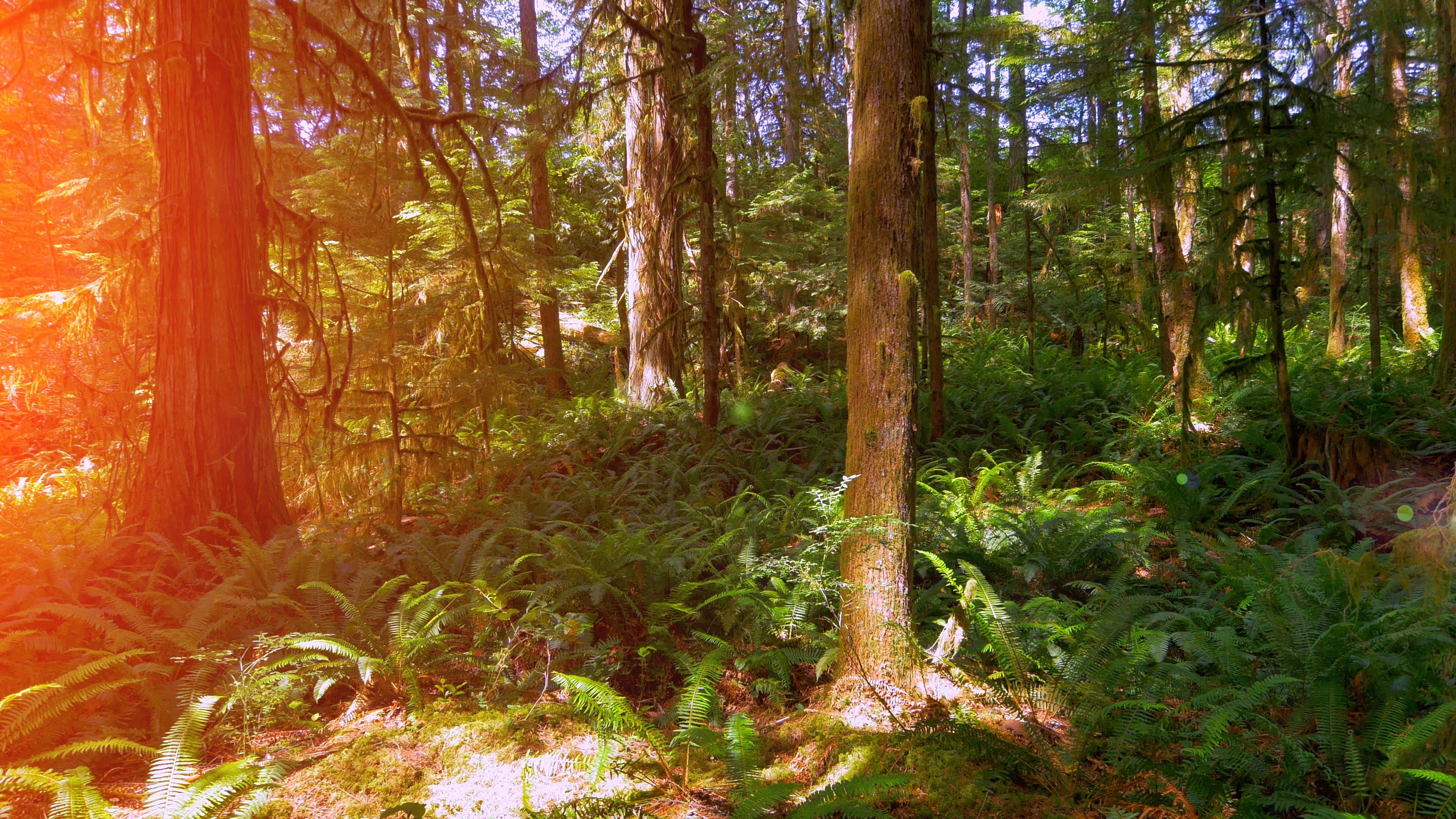 West Coast Rain Wood Forest Ferns Green Nature Trees Landscape Background Sun Stock Footage Ad Forest Ferns Green In 2020 Green Nature Landscape Trees Nature Tree