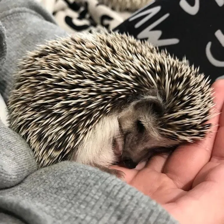 When We Picked Up Our Hedgehog We Thought He Hated Us But Now He Wont Stop Smiling Tntnews In 2020 Hedgehog Pet Cute Hedgehog Pygmy Hedgehog