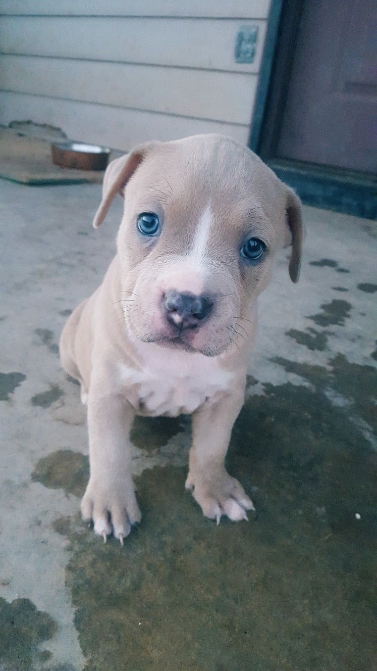 Blue Nose Puppy 5 Weeks Old Male Puppies Pitbulls Animals