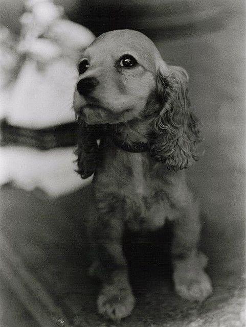 Mi Primera Impresion Cute Animals Dogs Cocker Spaniel Puppies