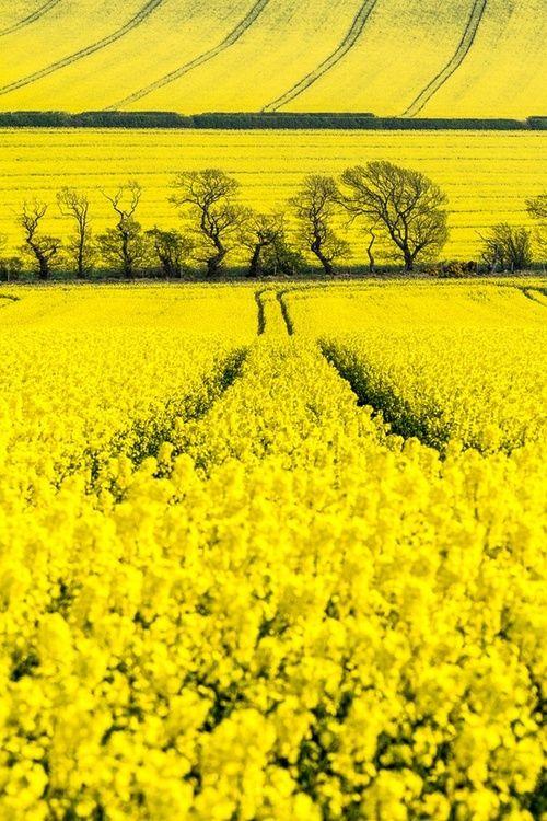 Fields of flowers paint it in yellow pinterest yellow flowers fields of flowers mightylinksfo
