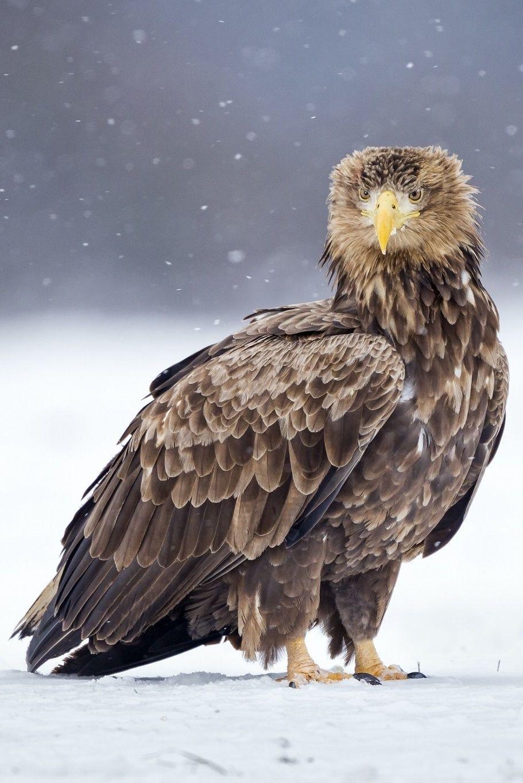 Resultado de imagem para Águia-rabalva