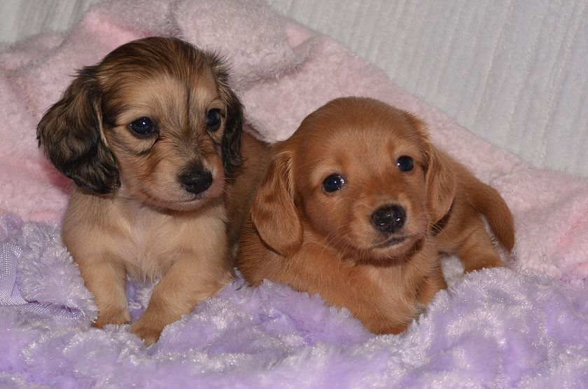 Akc Registered Miniature Long Haired Dachshund Puppies For Sale