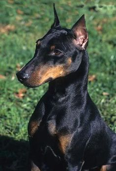 Manchester Terrier Dog Breed Information Manchester Terrier Toy