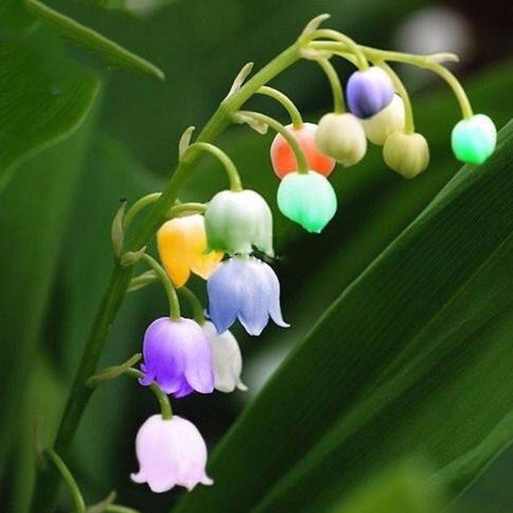 Amazon.com : Best Garden Seeds Rare Colorful Lily of the Valley ...
