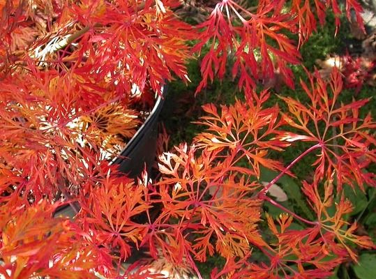 Acer Japonicum Green Cascade Trees I Want Japanese Maple Maple
