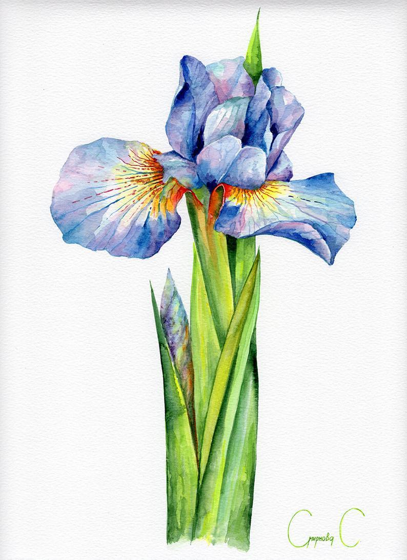 Blue Iris Flower Watercolor Zentangle Art By Cloudsofcolourshop 25 00 Iris Art Iris Painting Watercolor Art Paintings
