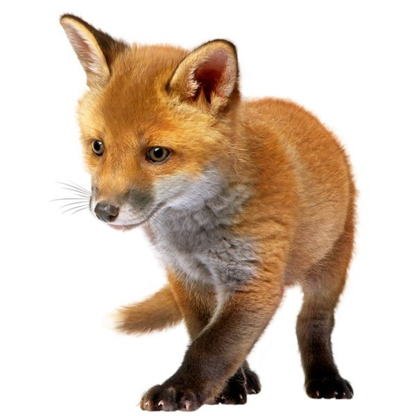 0 10e8ae 49669686 Orig Png Baby Fox Fox Images Wild Animals Photography