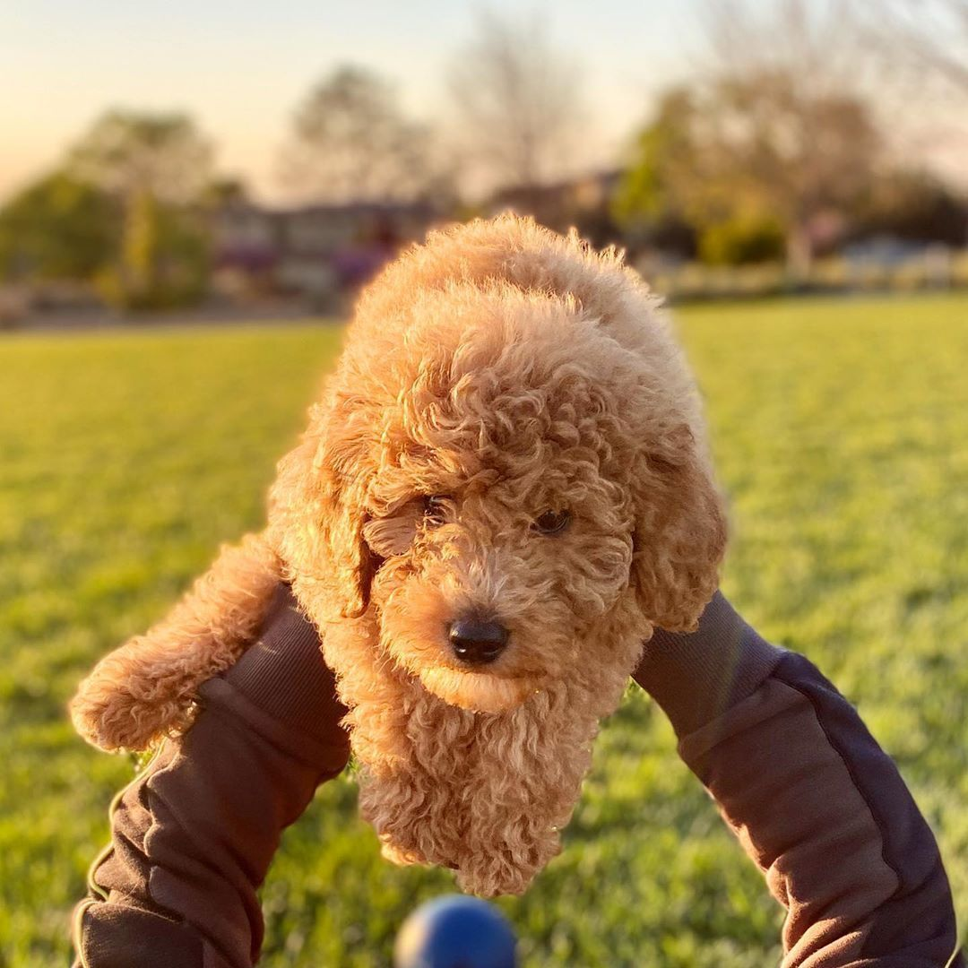 Miniature Poodles: What's Good About 'Em, What's Bad About Credit: hermes_thepoodle