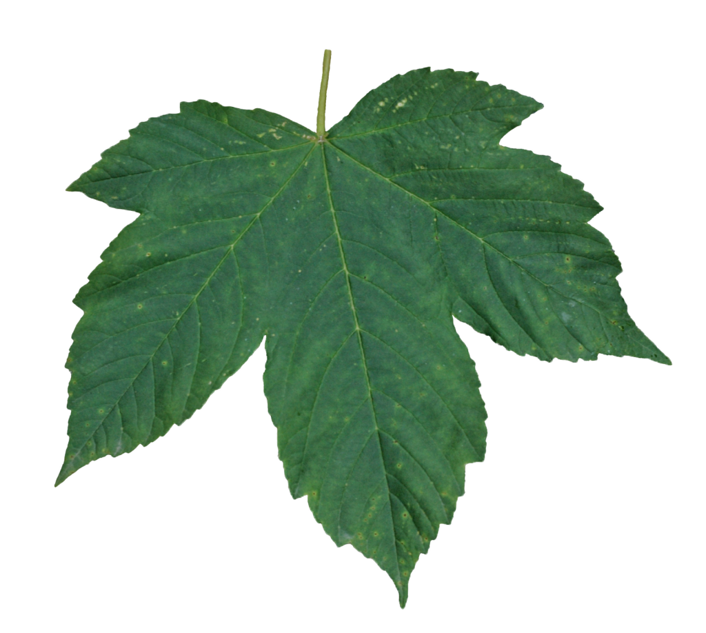 Green Leaves Png Image Green Leaves Leaves Plant Leaves