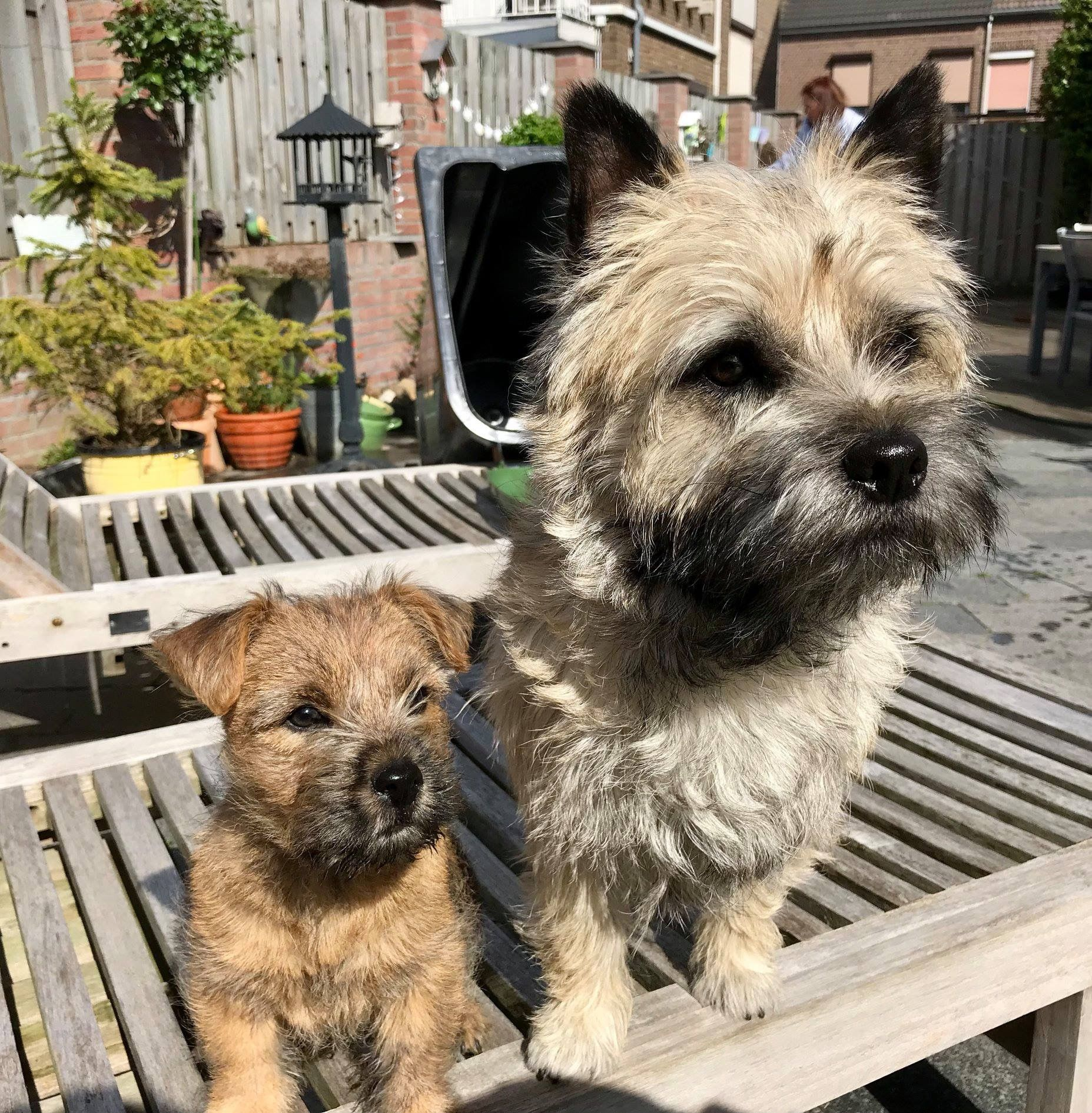 Pin by Martha Watson on Cairn Crazy! Cairn terrier