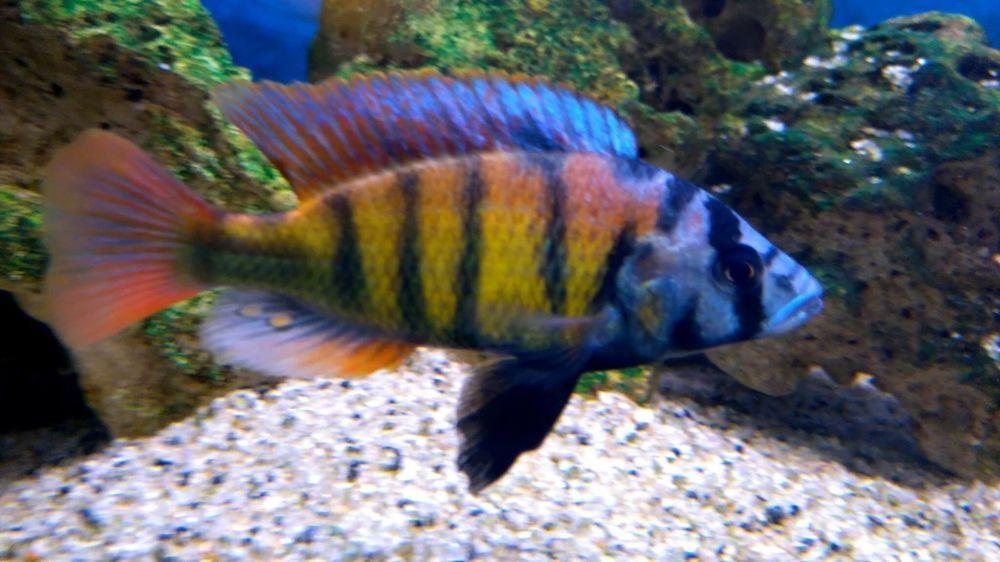 African Cichlid Sp44 Fry African Cichlids Cichlids Fish Pet