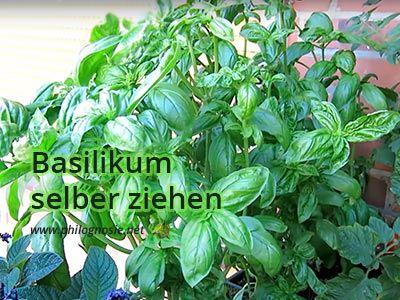 Basilikum selber ziehen, pflegen, schneiden und ernten #erhöhtepflanzbeete