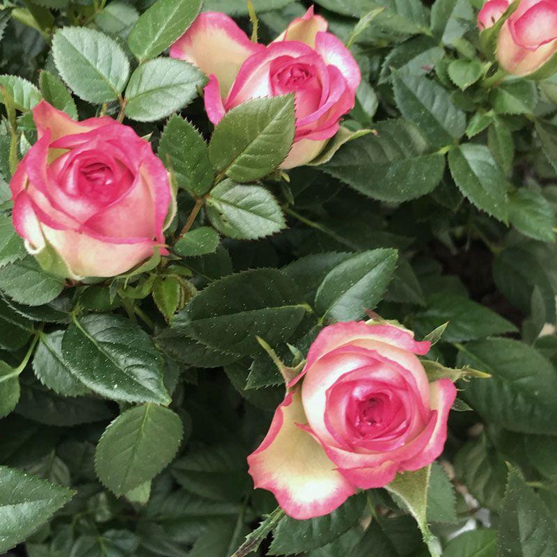 Wunderschöne Rosen im Garten Gartenblumen Pinterest