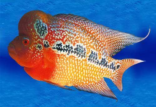 Malaysia Flower Horn Fish Cichlids Beautiful Fish Aquarium Fish For Sale