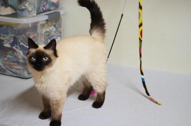 Adopt Conroy Jw On Cat Breeds Siamese Paws And Claws Cat Breeds
