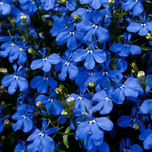 Lobelia hot springs sky blue flowers gardening pinterest lobelia hot springs sky blue mightylinksfo Images