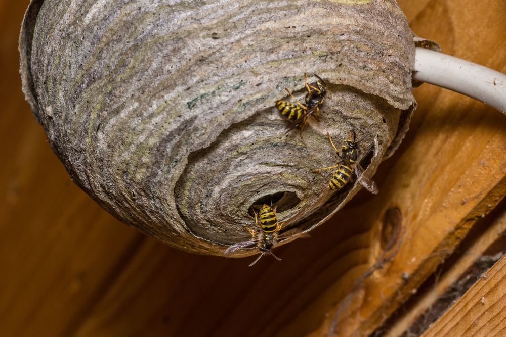How To Get Rid Of A Wasp Or Bee Nest In 5 Steps Getting Rid Of Bees Wasp Nest Removal Nest