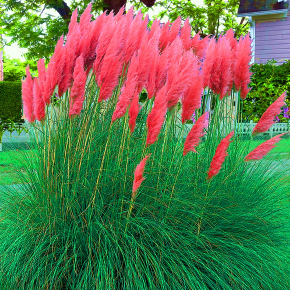 Red Pampas Grass Seeds 50 Seeds Magnificent Bright Red Plumes