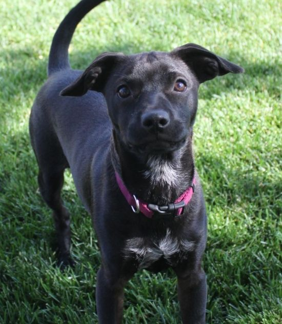 Puppy For Adoption Inbend Skipper Is A 4 Month Old Terrier Mix