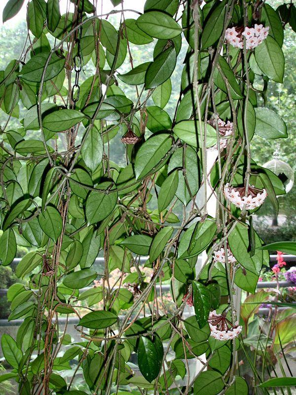 Wachsblume (Hoya) -u003e Ableger für Wohnzimmer Hoya plants - pflanzen für wohnzimmer