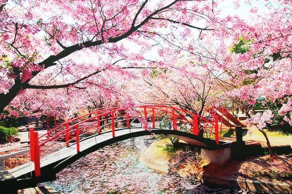 Pin Oleh Xicana Xhic Di The Beauty Of Japan Bunga Sakura Pemandangan Taman Jepang