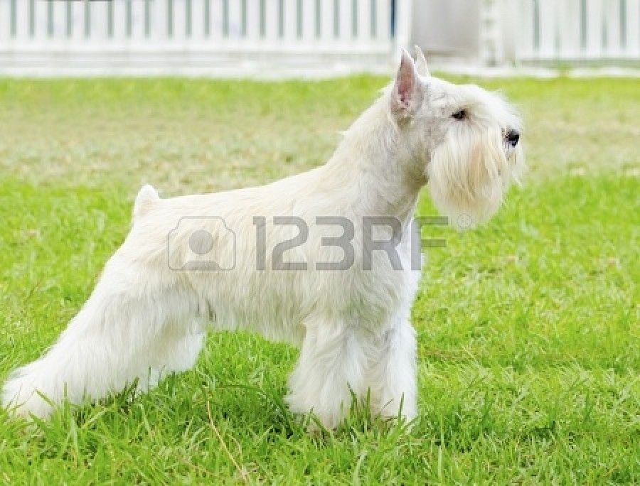 Small White Dog Breeds 5 Of The Best Practical Paw The Dog Lovers Toolkit Maltese Puppy Maltese Dog Breed Dog Breeds