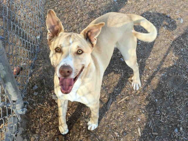 1 Year Male German Shepherd Dog Cross Labrador: Milo Is A Loving 1-year-old Male, Tan And White