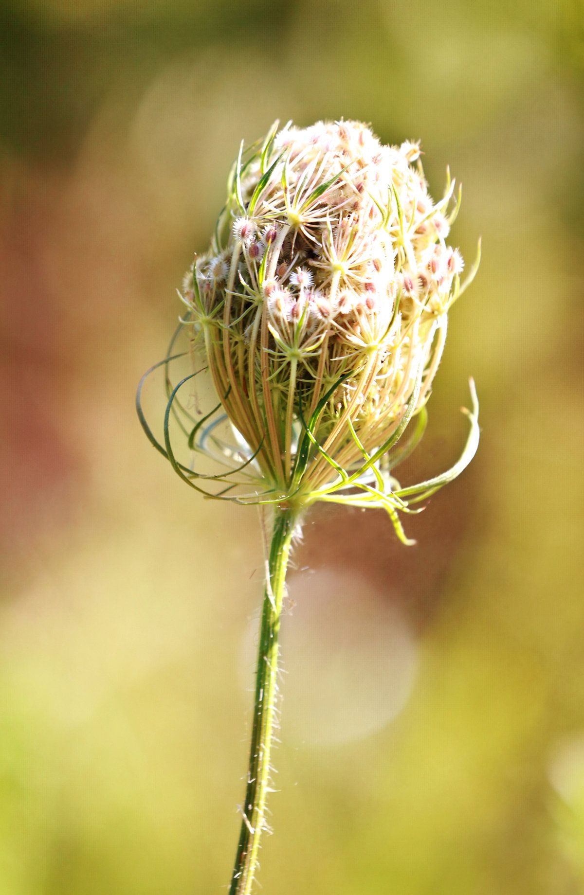 Queen Anne\'s Lace Bud Fine Art Photography for Wall Art. Fine Art ...