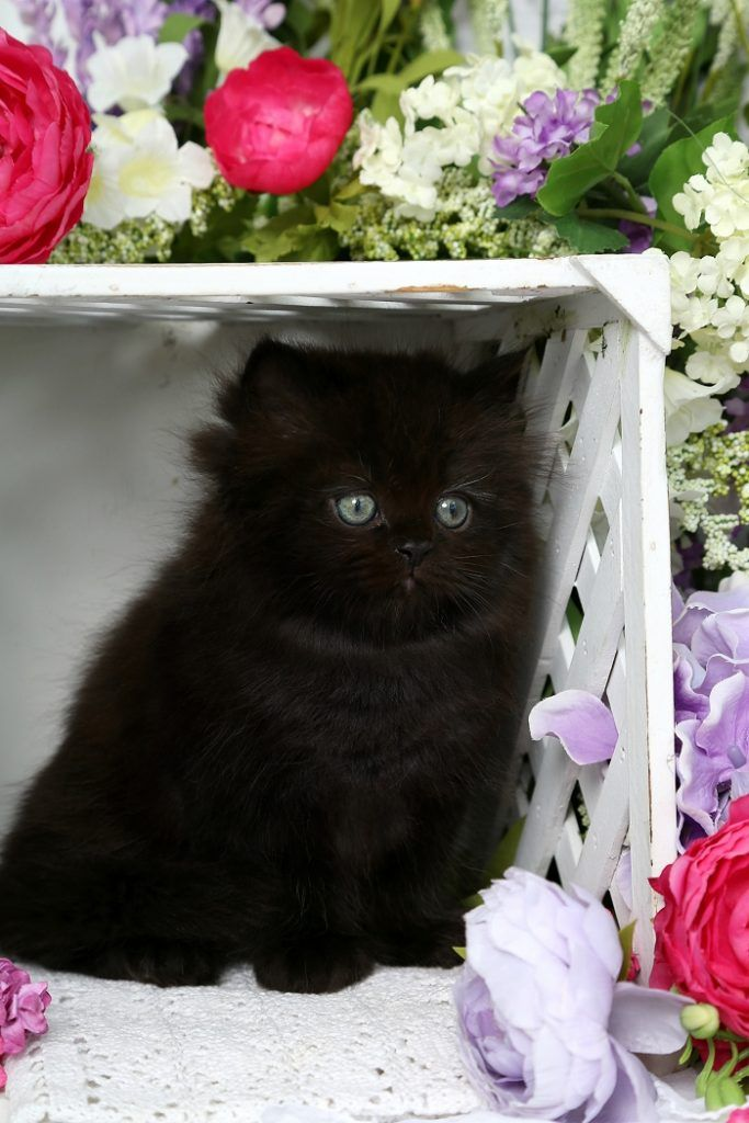 Midnight Solid Black Doll Face Persian Kitten for Sale