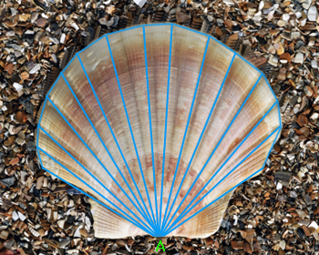 Scallop Shell Real Life Example Of Polygon Math Core Concepts