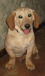Adopt Donner On Puppies Adoption Labrador Retriever Mix