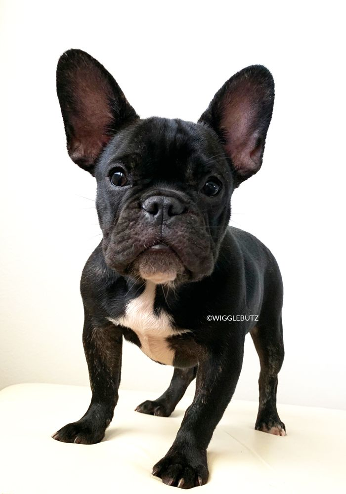 Toy Bulldogs For Adoption – Wow Blog   Black French Bulldog Puppies For Adoption